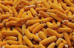 农业农村部:全国秋冬种种子供应充足 小麦种子价格同比下降